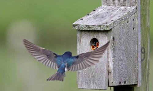 Nesting Birds with RSPB